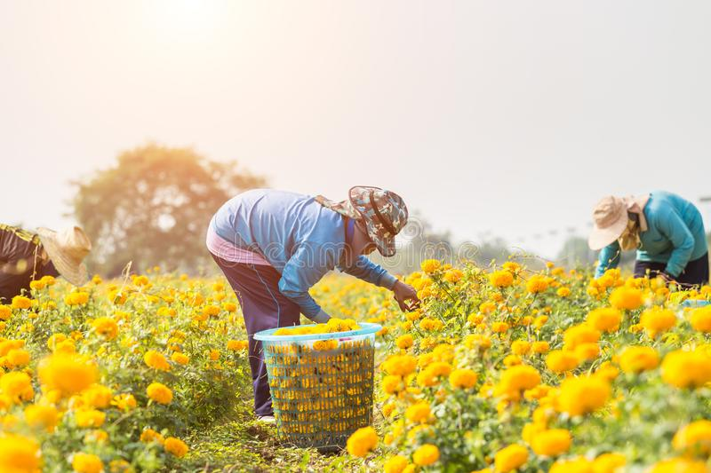 Thai worker or gardener keeping Marigold flower in field at northern of Thailand royalty free stock photos