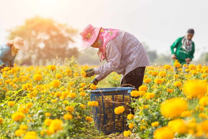 Thai worker or gardener keeping Marigold flower in field at northern of Thailand stock photos