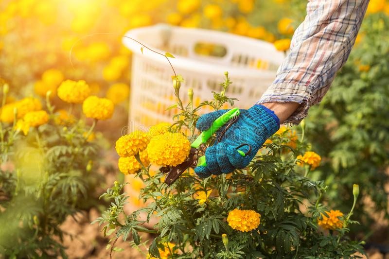 Thai worker or gardener keeping Marigold flower in field at northern of Thailand royalty free stock images