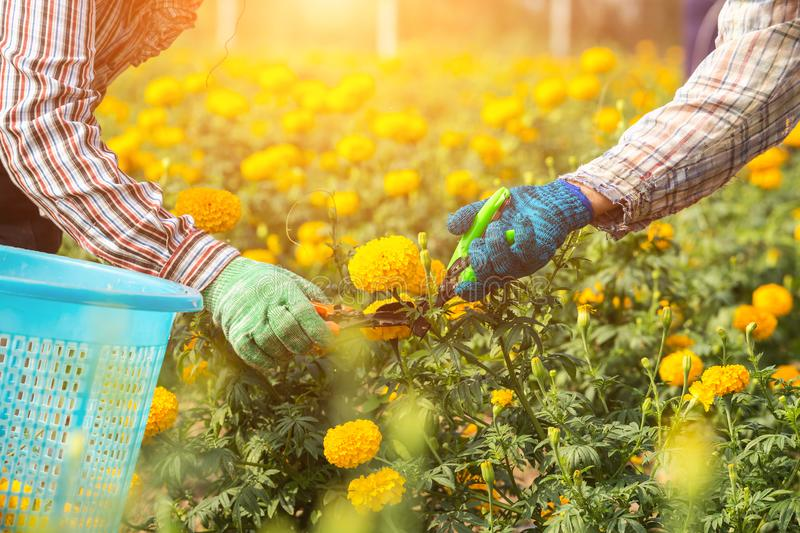 Thai worker or gardener keeping Marigold flower in field at northern of Thailand stock image