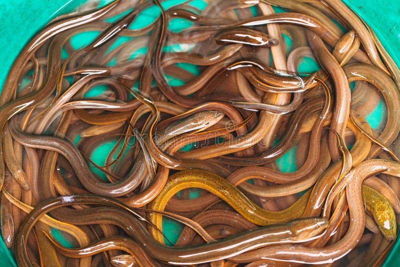 Thailändische Aalfische oder Schlangenfische stockfoto