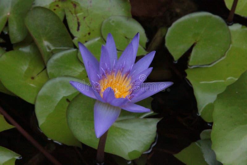 Thailändische Blume: Lotus Flower- oder Nelumbonucifera ist eins von zwei extant Spezies Wasserpflanze, stockbilder