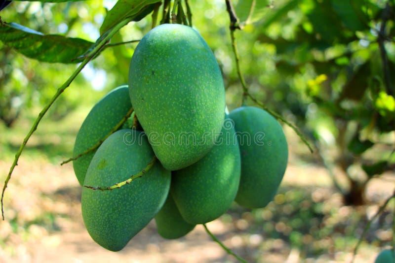 Thailändische grüne Früchte der Mango am sauersten lizenzfreie stockbilder