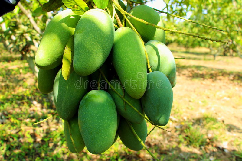 Thailändische grüne Früchte der Mango am sauersten lizenzfreies stockfoto