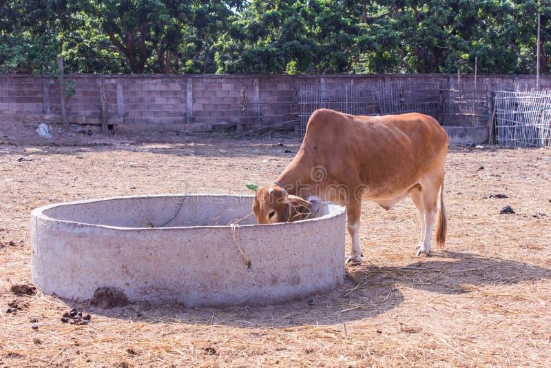 Thailändische Kühe, die im Bauernhof essen stockfotografie