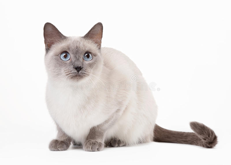 Thailändische Katze auf weißem Hintergrund lizenzfreies stockbild
