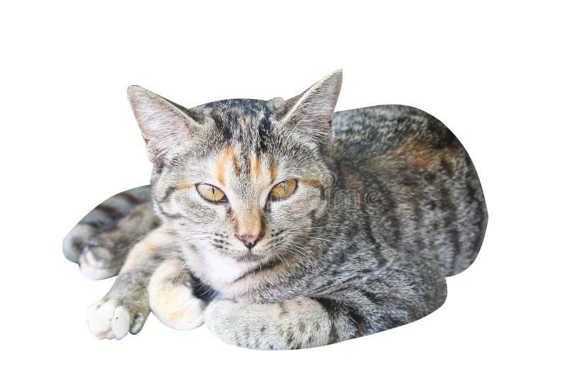 Thailändische Katze lokalisiert auf weißem Hintergrund stockfotos