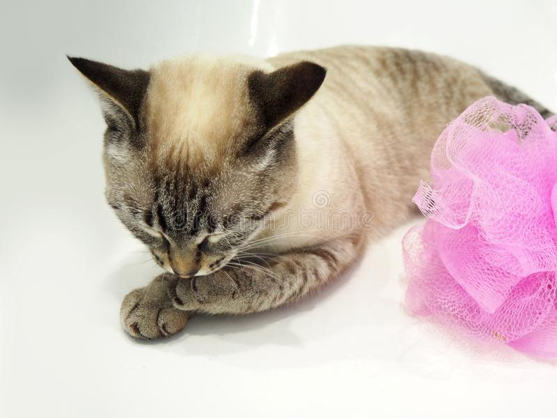 Thailändische Katze mit dem rosa Schwamm, der in einem Bad sitzt stockbild