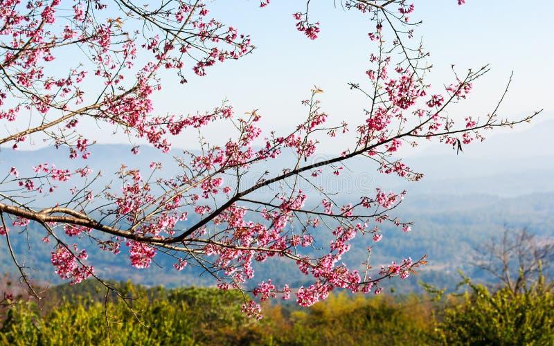 Thailändische Kirschblüte stockfotografie