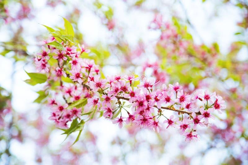 Thailändische Kirschblüte lizenzfreie stockfotografie