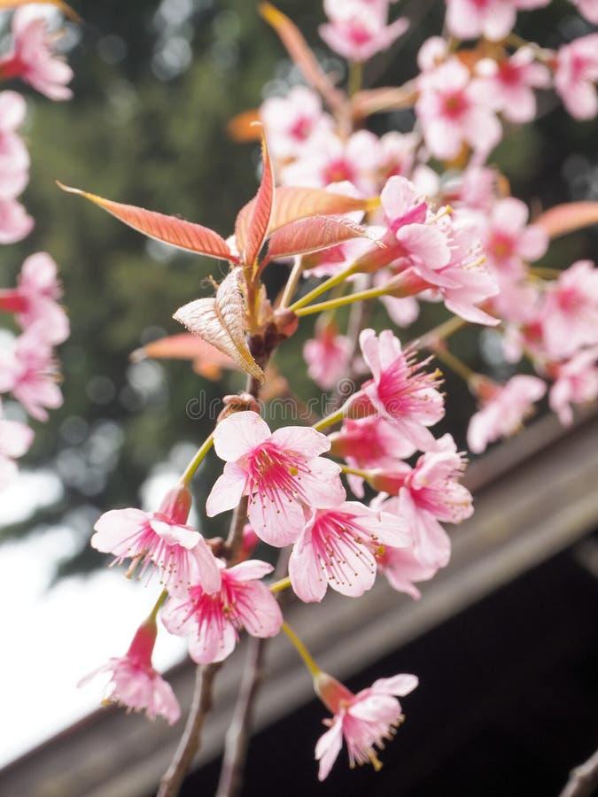Thailändische Kirschblüte stockbilder