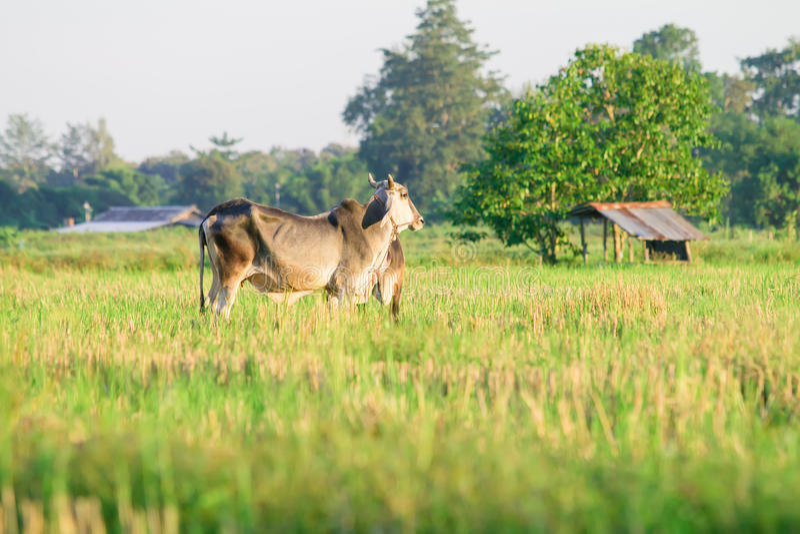 Thailändische Landrasse-Kuh auf Gras stockbild