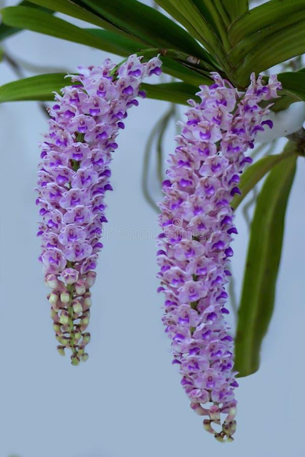 Thailändische Orchidee 05 lizenzfreies stockfoto