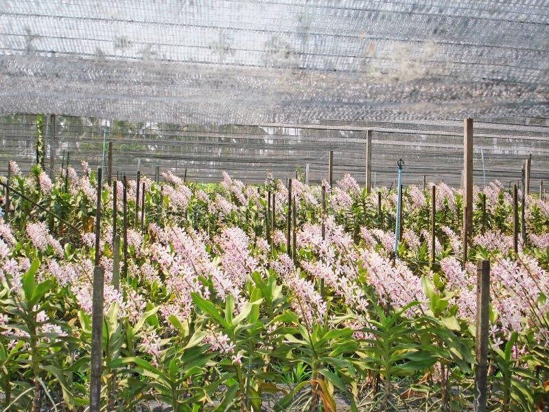 Thailändische Orchidee Flowers-05 lizenzfreies stockbild