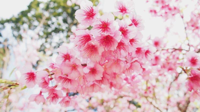 Thailändische rosa Kirschblüte lizenzfreies stockfoto