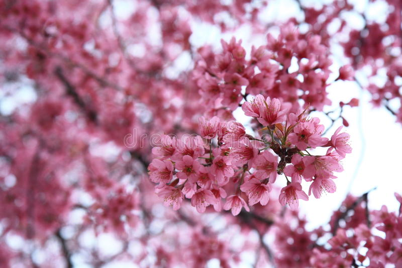 Thailändische rosa Kirschblüte lizenzfreie stockfotos