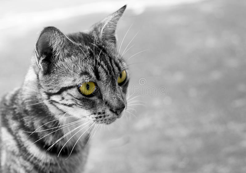 Thailändische Schwarzweiss-Katze mit gelben Augen stockfotos
