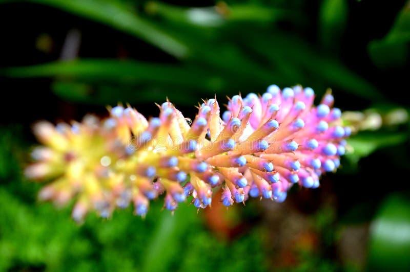 thailändische thailändische Blumen von Doi Inthanon stockfotografie