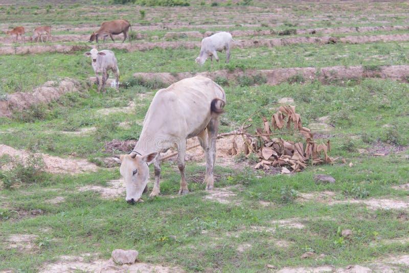 Thailändische weiße junge Kuh auf dem Reisgebiet stockbild
