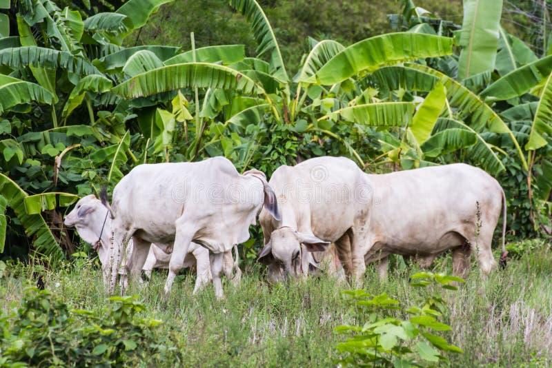 thailändische weiße Kühe auf dem Gebiet lizenzfreie stockbilder