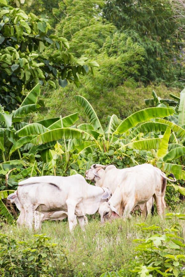 thailändische weiße Kühe auf dem Gebiet lizenzfreie stockfotos