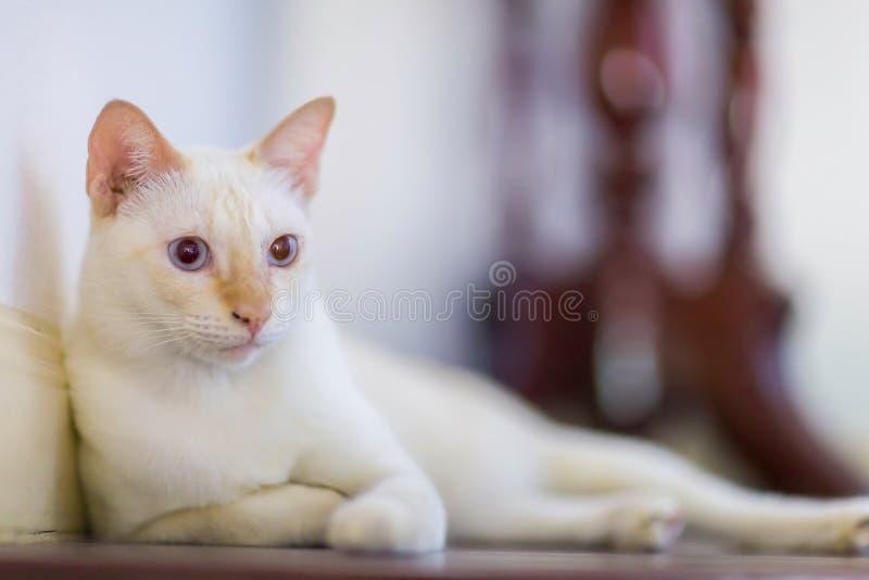 Thailändische weiße Katze, die auf Bretterboden mit undeutlichem Hintergrund sitzt stockfotografie