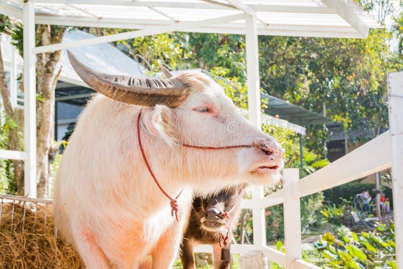 Thailändischer Albinobüffel (rosa Büffel) stockfotografie