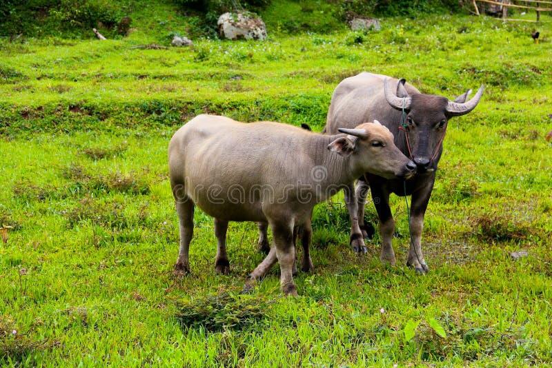Thailändischer Büffel auf dem Feld stockbilder