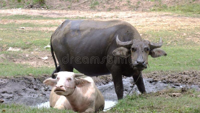 Thailändischer Büffel und weißer Büffel werden im Schlamm gebadet stockfotografie