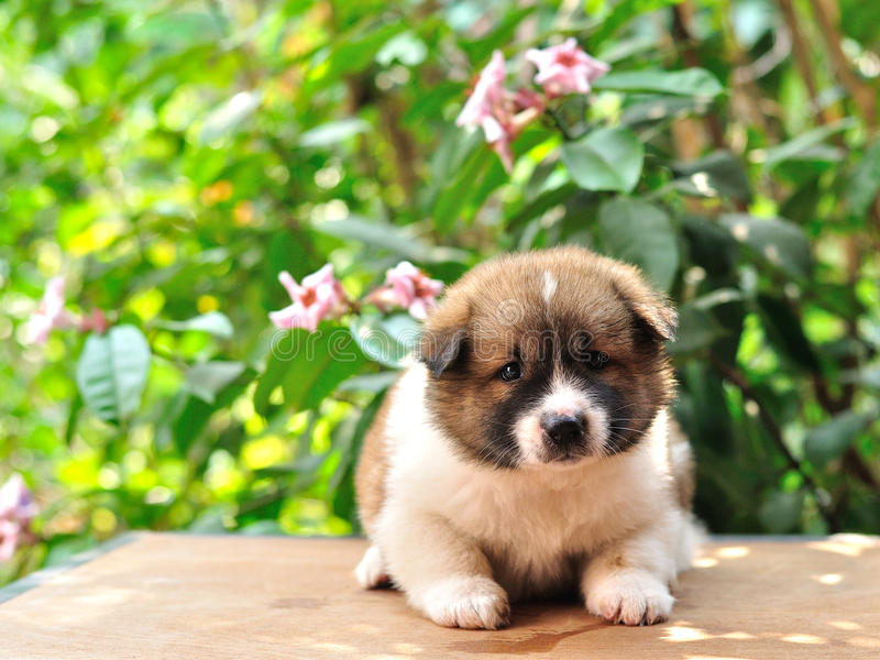 Thailändischer Bangkaew-Hund, Bangkaew-Welpenporträt lizenzfreie stockfotografie