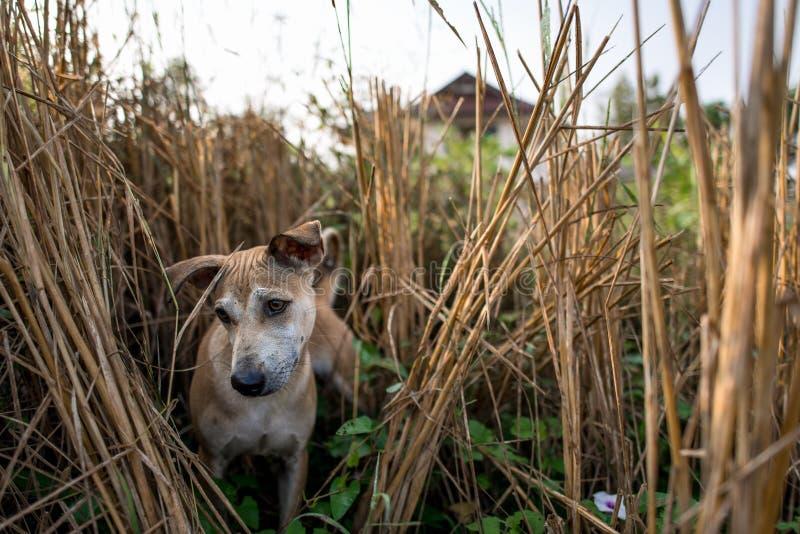 Thailändischer gebürtiger Haupthund lizenzfreies stockbild