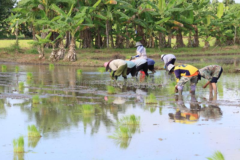 Thailändischer Landwirt bauen den Reis an lizenzfreie stockfotografie