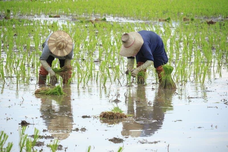 Thailändischer Landwirt, der jungen Paddy auf dem Landwirtschaftsgebiet pflanzt lizenzfreie stockfotos