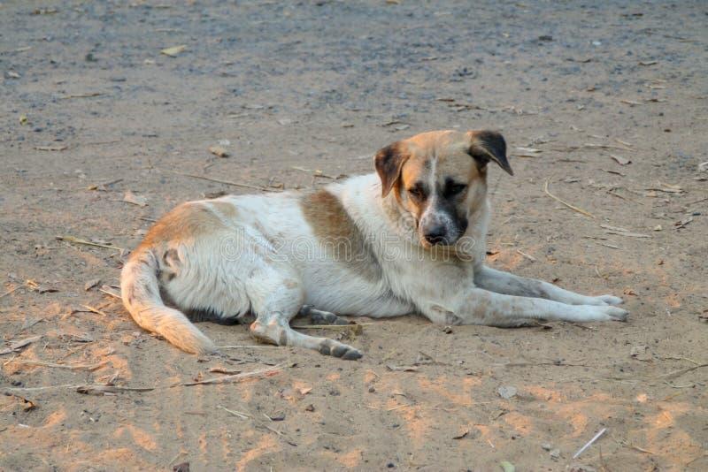 Thailändischer lokaler Hund, der Hund sucht einen lokalen Eigentümer wird gegangen lang mit den traurigen Augen stockbilder