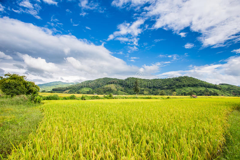 Thailändischer Reis-Bauernhof stockfotografie