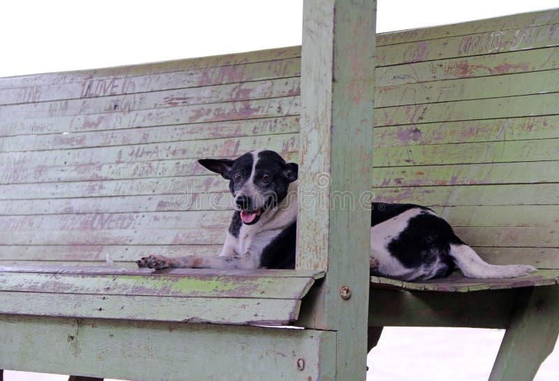 Thailändischer Schwarzweiss-streunender Hund, der auf der hölzernen Couch niederlegt lizenzfreie stockbilder