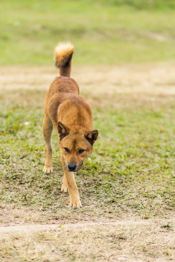 thailändischer streunender Hund im trockenen Gras stockfotos