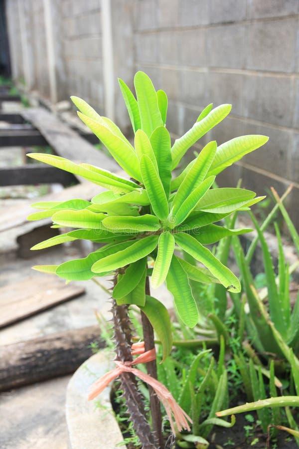 Thailändsk ört: Aloe Vera Tree som är en av trädet, som kan hjälpa för att läka sår arkivfoton