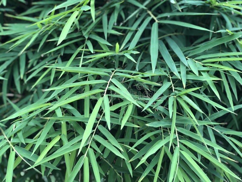 Thailändsk bambu lämnar bakgrund arkivbilder