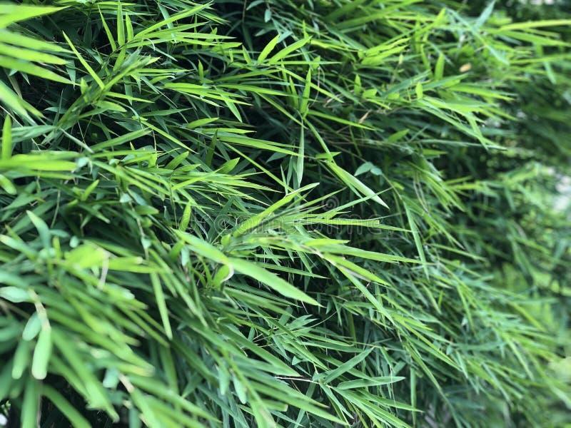 Thailändsk bambu lämnar bakgrund royaltyfri bild