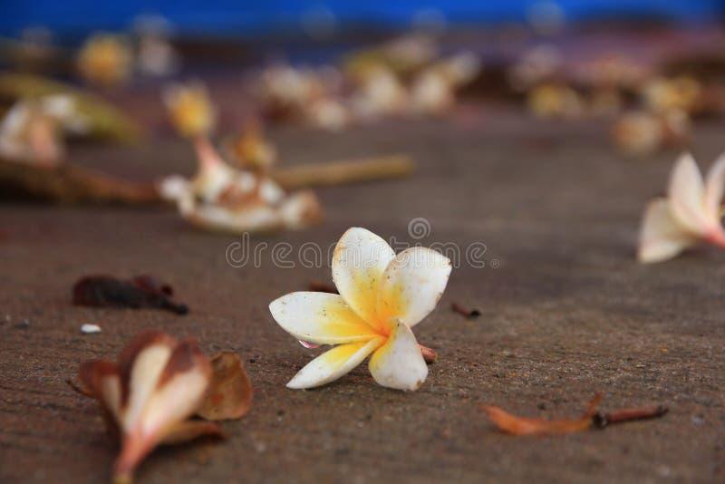 Thailändsk blomma: Plumeria är ett släkte av blomningväxter i dogbanefamiljen, Apocynaceae Mest art är lövfällande buskar arkivfoto