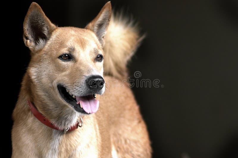 Thailändsk brun hund med den röda kragen royaltyfri foto