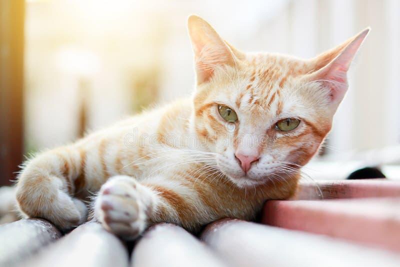 Thailändsk brun katt med så härligt aftonljus royaltyfria foton
