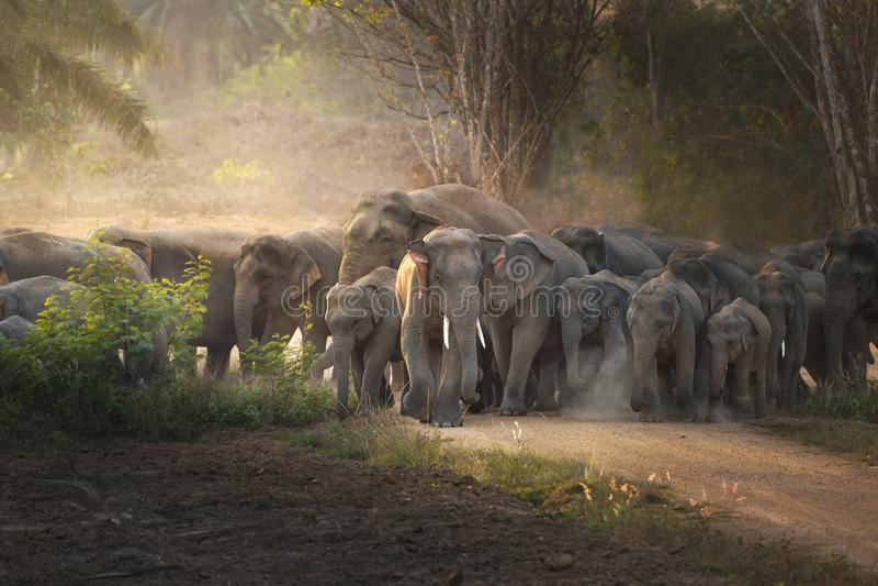 Thailändsk elefant i löst royaltyfria bilder