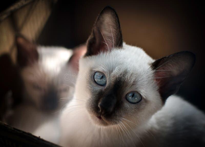 Thailändsk eller siamese katt arkivbild