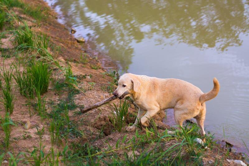 Thailändsk folk hund arkivfoto