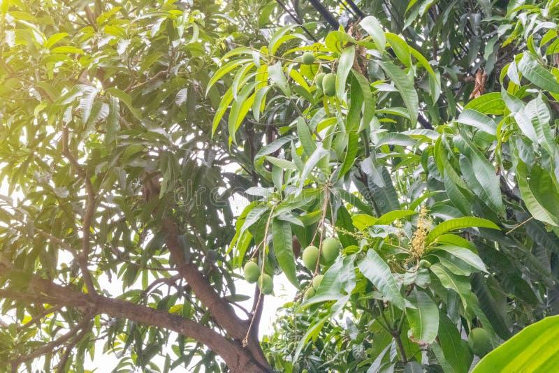 Thailändsk grön mycket liten mango på träd royaltyfri fotografi