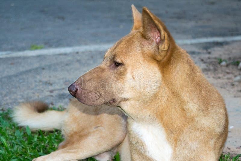 Thailändsk hund (den ser från sidan - mannen), royaltyfria bilder