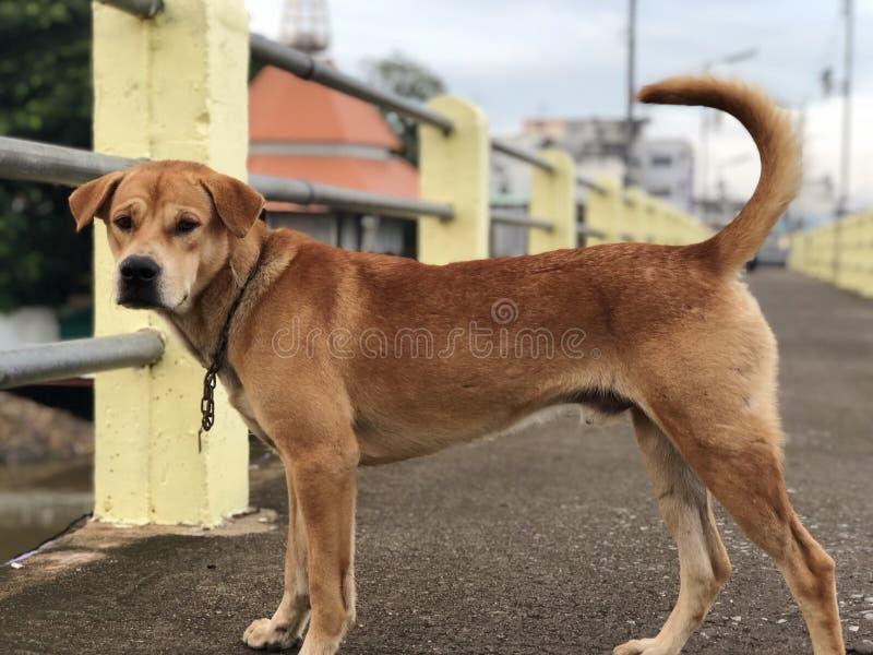 Thailändsk hund på bron royaltyfri fotografi