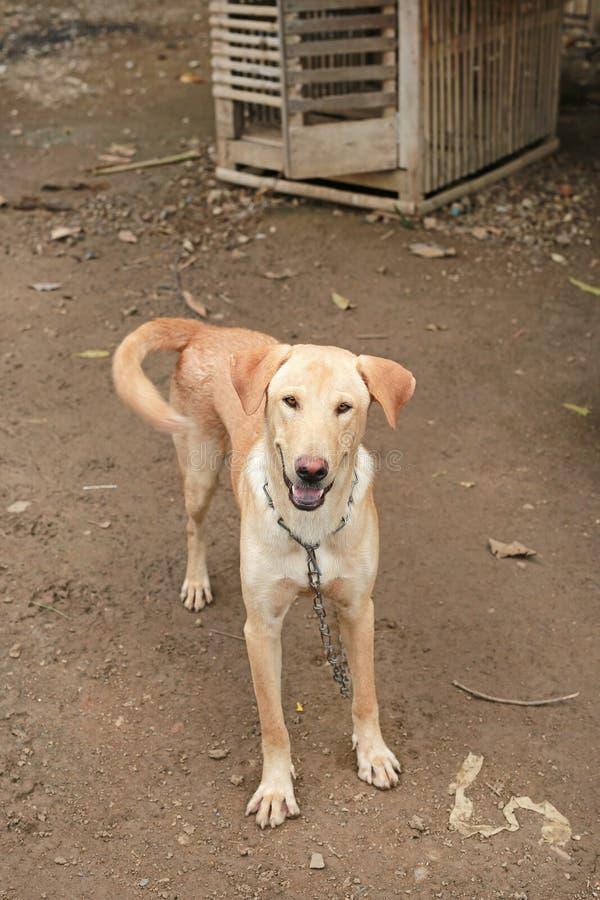 Thailändsk hund på en kedja arkivbild